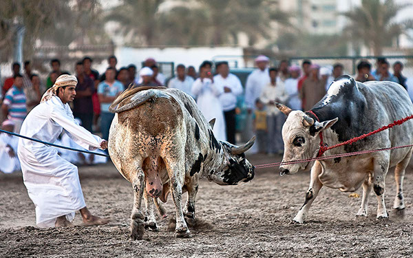 Traditional bullfighting in Fujairah!